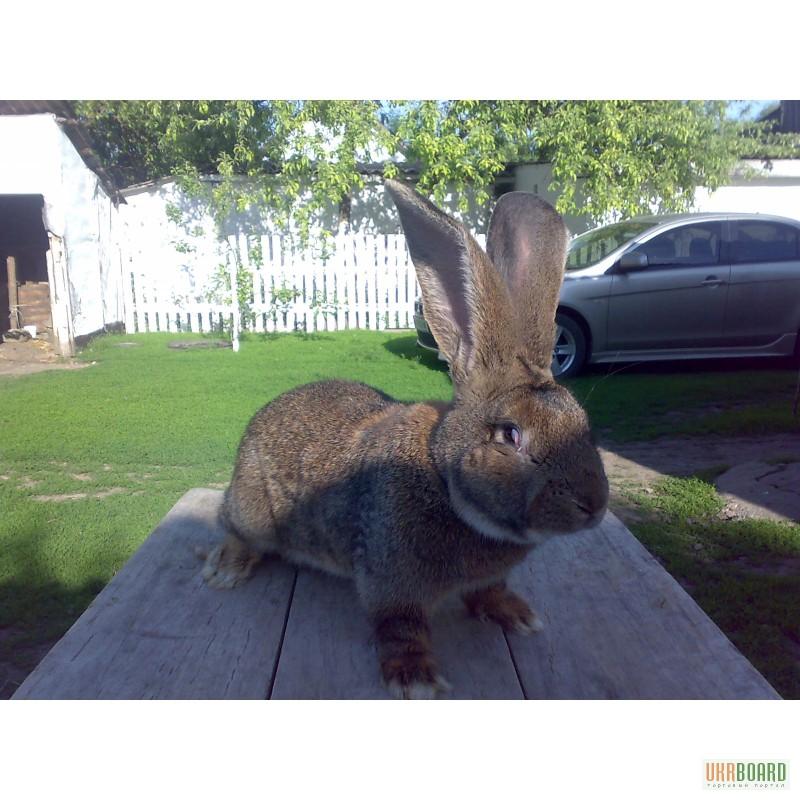 Фото 2. Продам кроликов породы бельгийский великан(обр ,ризен, фландр)