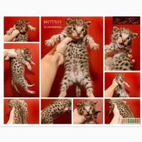 Кошки Саванна ф1-ф2 (ложное название ашера) США