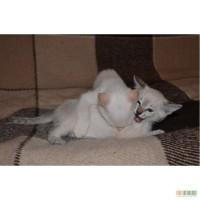 Чудесные тайские котята в дар :) Киев, Борщаговка
