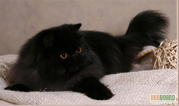 Персидский черный кот фото