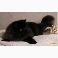Персидский коротконосый кот на вязку
