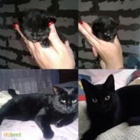 Черные котята Бомбейские