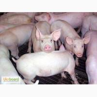 Продаем элитных свиней, мясной 4-х породный гибрид.Убедитесь в качестве Киев