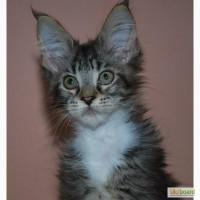 Котята мейн кунчики