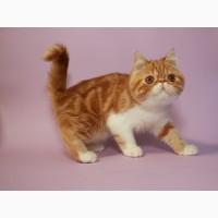 Экзотические клубные чистокровные котята