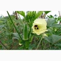 Семена бамии