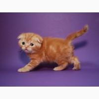 Вислоухий клубный плюшевый котик