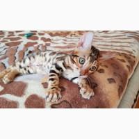 Бенгальская кошка купить Харьков