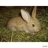 Продам кролей (серый великан)