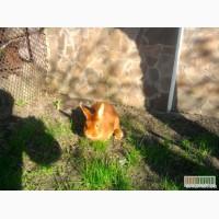 Кролики НЗК(новозеландская красная)