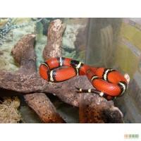 Продам цветных королевских змей разных видов и размеров,питонов,удавов.
