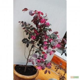 Цветы , цветок Лоропеталум ( Lorpetalum ) , Бонсай (Bonsai). Для декора сада , дома , офис