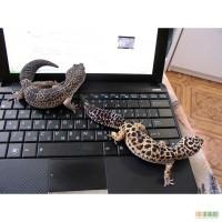 Продам рептилию леопардового геккона эублефар