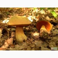 Семена грибов - мицелий дубовика, шампиньона, лисички, подберезовика, трюфеля