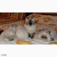 Продаются котята Невская маскарадная