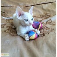 Белоснежный котенок Девон Рекс мальчик 2 месяца