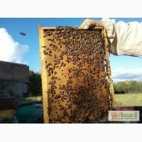 Пчелопакеты карпатской породы 4+1