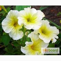 Продам семена петуния многоцветковая низкорослая Береника F1