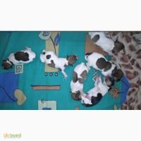 Очаровательные щенки Джек Рассел терьер от родителей чемпионов