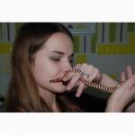 Ручные молочные змеи Синалое и Пиромелана
