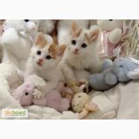 Продам котят породы Турецкий Ван