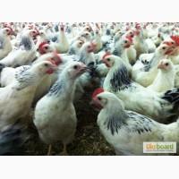 Суточные цыплята мясо-яичного направления