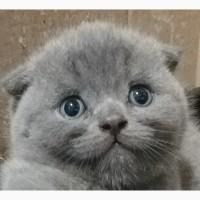 Котята вислоухие шотландские. На фото - только реальные малыши