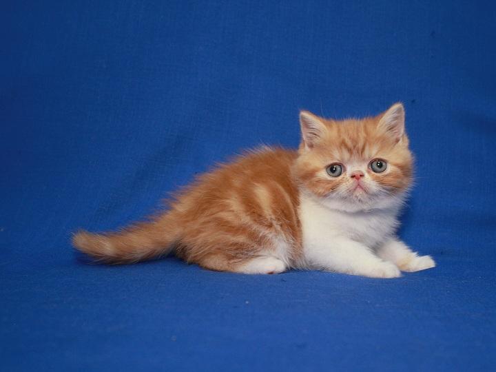 Фото 2. Красная мраморные Экзоты (котёнок)