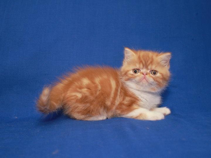 Фото 3. Красная мраморные Экзоты (котёнок)