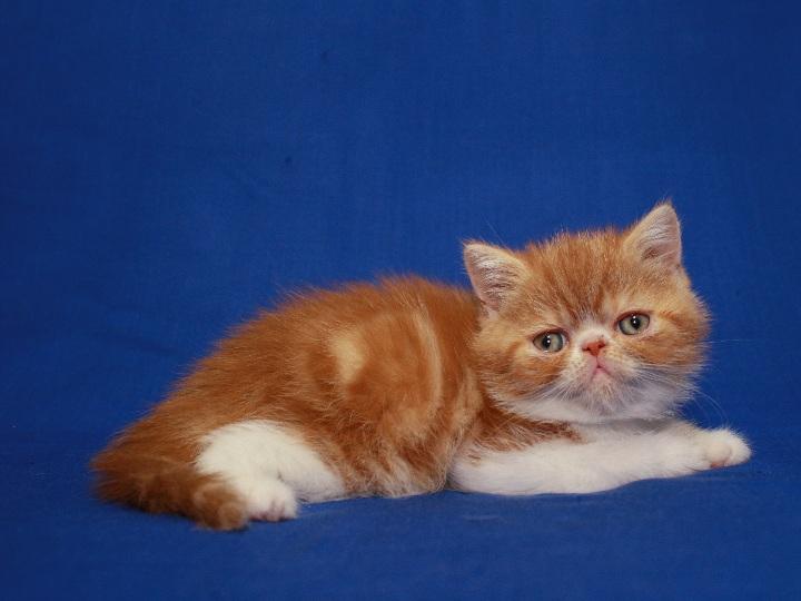 Фото 4. Красная мраморные Экзоты (котёнок)