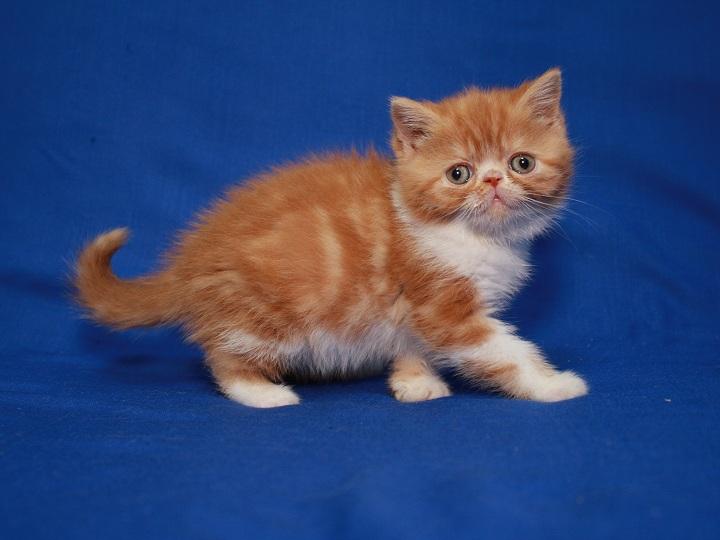Фото 5. Красная мраморные Экзоты (котёнок)