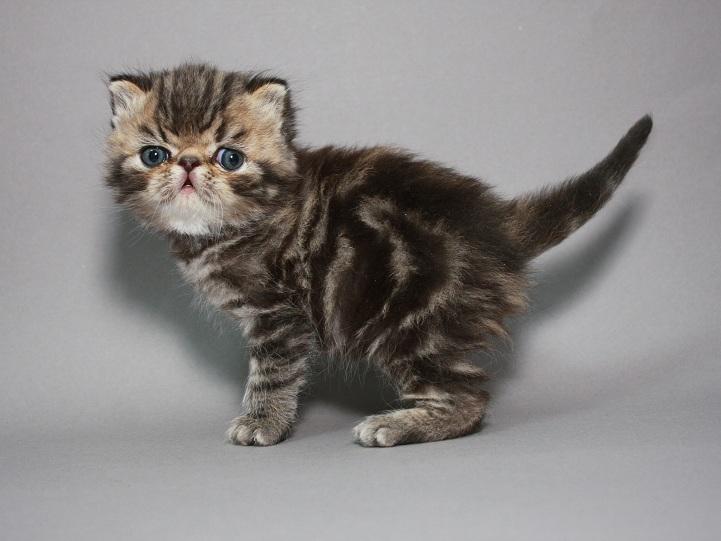 Фото 6. Красная мраморные Экзоты (котёнок)