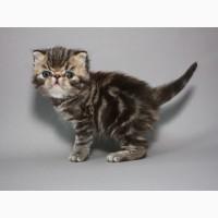 Красная мраморные Экзоты (котёнок)