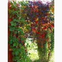 Продам саженцы Дикий Виноград (Девичий виноград) и много других растений (опт от 1000 гр)