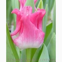 Продам луковицы Тюльпанов Волнистых и много других растений (опт от 1000 грн)