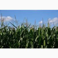НС 2662 ФАО 300 семена кукурузы