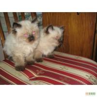 Продам котят Балинеза