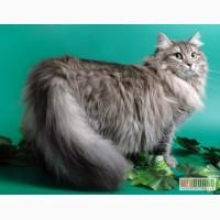 Подарим Сибирского кота