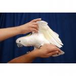 Ручные Какаду Птенцы (Выкормыши)