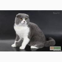 Скоттиш - фолд, скоттиш - страйт (котята). Вязка с вислоухим котом