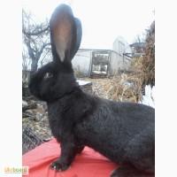 Кролики фландр бельгийский великан