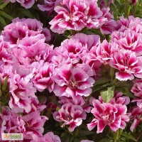 Продам семена однолетних и многолетних цветов и растений