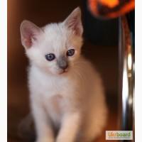 Тайский котенок, лиловая красотка с родословной
