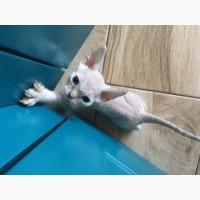 Продаются котята Девон Рекс (devon rex)