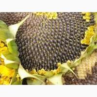 Насіння соняшнику Альварез/соняшник стійкий до євро-лайтнінгу