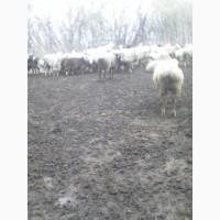 Продам стадо овец