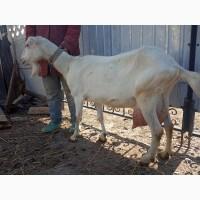 Продам коз : козы таких пород как Ламанча и Зааненскую