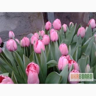 Живые цветы оптом в кривом роге купить цветы аквилегию корнем