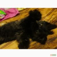 Ангорский котенок, девочка, 2 месяца