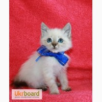 Продам котят Балинеза Киев